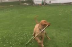 Hula-koiran heimotanssi