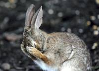 Jäniksen facepalm