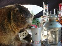 Disco-beaver drinking pussyjuice