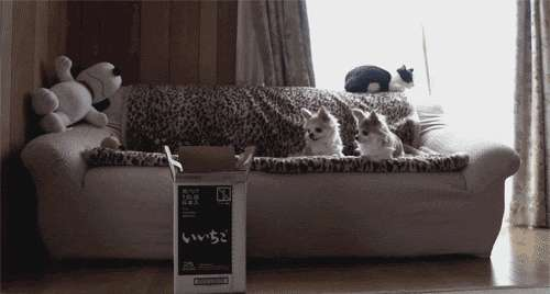 Tyhmä kisse hyppää laatikkoon