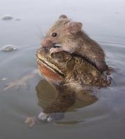 sammakko ja hiiri aamu-uinnilla