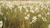 Narsissipelto