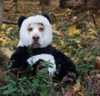 Hämyasussa pandoja huijaamassa