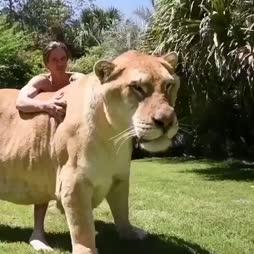 Normaalikokoinen leijona(liikeri)